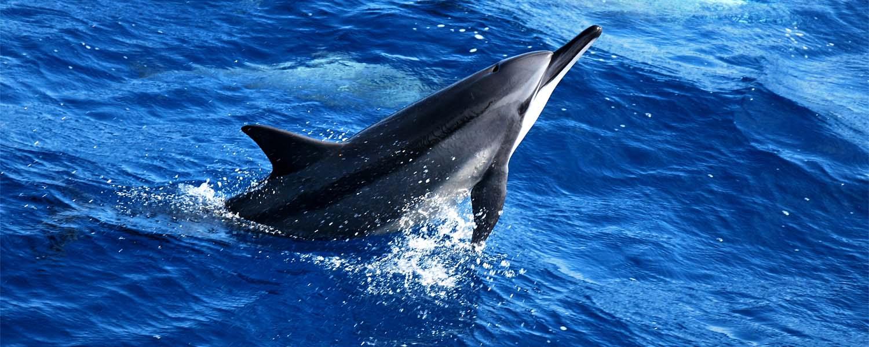 小笠原村諸島の自然(イルカ)の写真