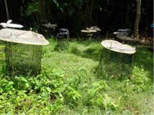 植栽されたオガサワラグワの苗